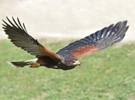 Young kestrel wanted or Harris hawk