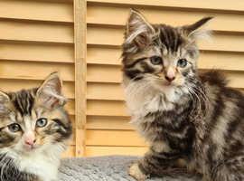 Gorgeous Female fluffy kittens for sale
