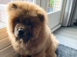 7 Months Old Chow Chow