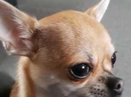 Chihuahua Male 16 months