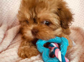 Wanted, small type pedigree puppy shih-tzu, Male or female