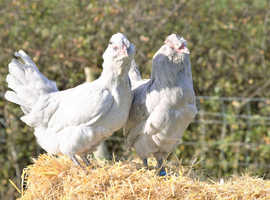 Utility chickens for back yard farm