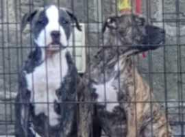 pups ready . American Bulldog puppys