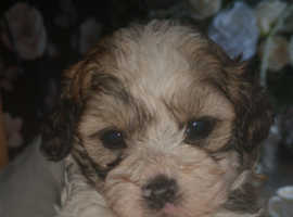 Shihpoo teddy bear puppies