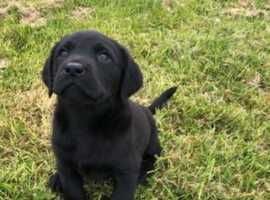 Adorable Labrador pup