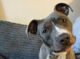 Beautiful 10month old blue staffie