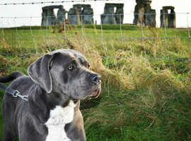 Champion Blue & Black cane corso pups available