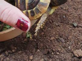 £100 ovno 1 year old Hermann tortoise
