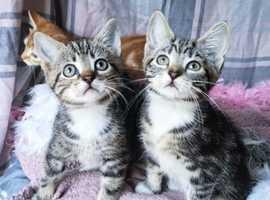 Gorgeous Norwegian cross Bengal Kittens READY NOW
