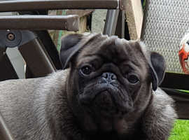 2 Male pugs looking for loving home no time wasters please