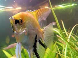 Koi Angel Fish Large X8