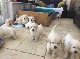 Golden Retriever Pups, available