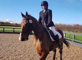 16.2hh 19 yr open to offer gelding take any rider any we're hacking would love enjorance
