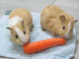 Adorable young guinea pigs