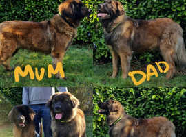 Kc registered leonberger puppies 1 female left