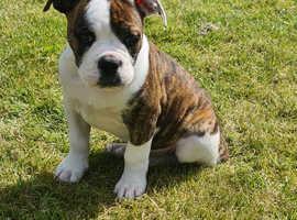 British bulldog x American