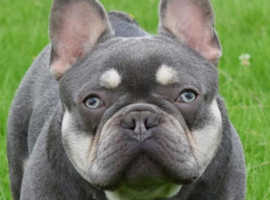 Roscoe son of Matrix lilac and tan stud French bulldog
