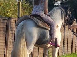 rising 4 years micro gypsy cob 12hh colt\stallion