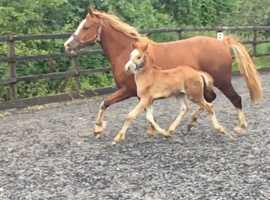 Superbly bred dressage pony