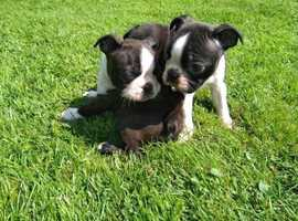 Stunning /Boston/ Terrier /pups
