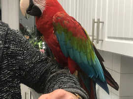 Greenwing macaw for sale