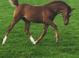 Outstanding Filly Foal - Bred in the Purple