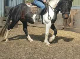Middleweight coloured mare