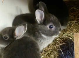 Black fox netherland dwarf kits