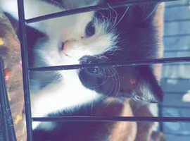 Female Black and White kitten for sale