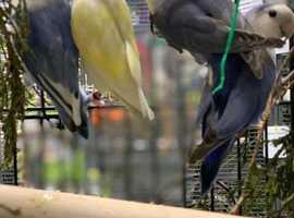Love Birds For Sale - 4 Weeks Free Insurance