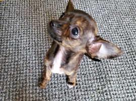 Chihuahua/ susasage dog