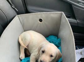 8 week old goldador puppy