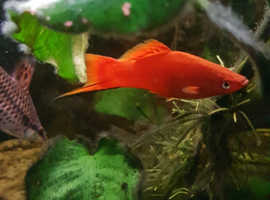 Red male swordtails