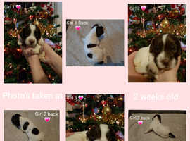 * English Springer Spaniel Puppies for sale *