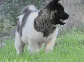 Kc Reg American Akita Puppies
