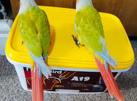 Hand reared baby dilute conures