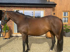 Stunning young filly for showjumping or eventing
