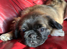 17 weeks old pugalier for sale