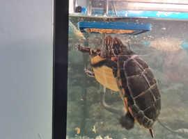 Eastern Painted Turtles X 2