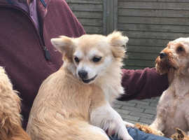 Lovely chihuahua female for sale