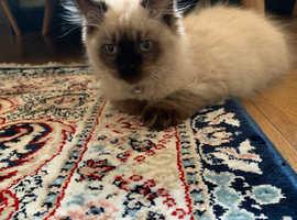 Cat sale Rogdoll kittens