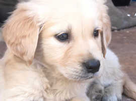 Genuine & pure breed golden retriever puppy female looking new home
