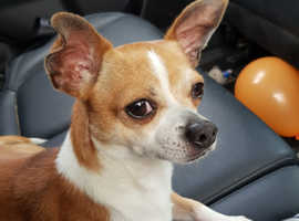 3 year old male chihuahua