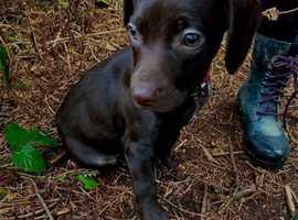 £1250 10 week old male Pup