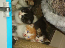 Kittens for sale ready in two weeks