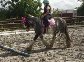 Ride and drive cob gelding