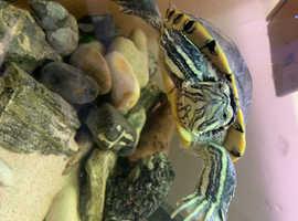 Cumberland Slider Turtle