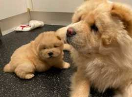 Absolutely Stunning Chow Chow Puppies
