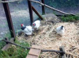 Three white Sussex bantams