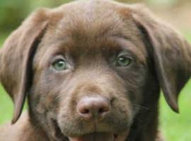 Labrador needed